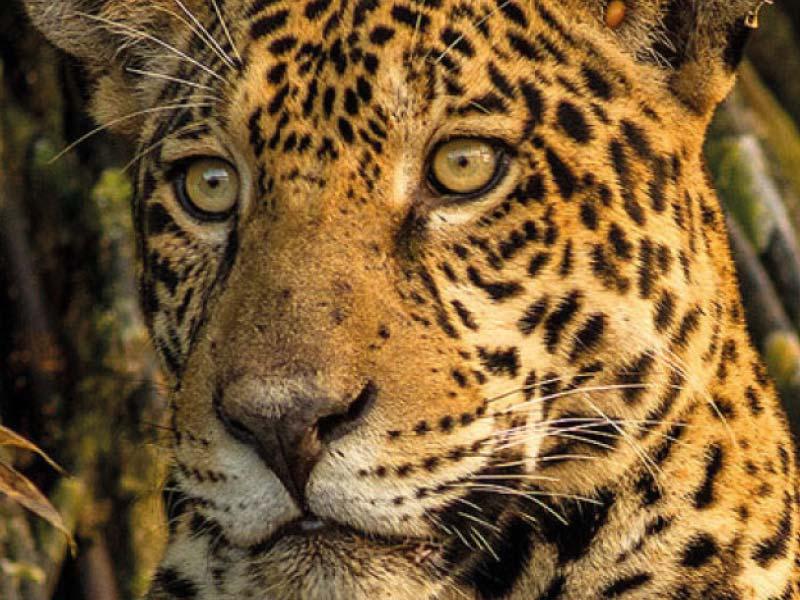 World Land Trust Leopard